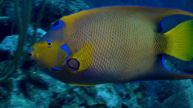 Queen Angel fish over reef in Caribbean