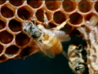 Queen Honey Bee walking on comb over open chambers CU Worker Honey Bees checking empty extended chamber