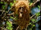 Quelea weaver bird at entrance to nest