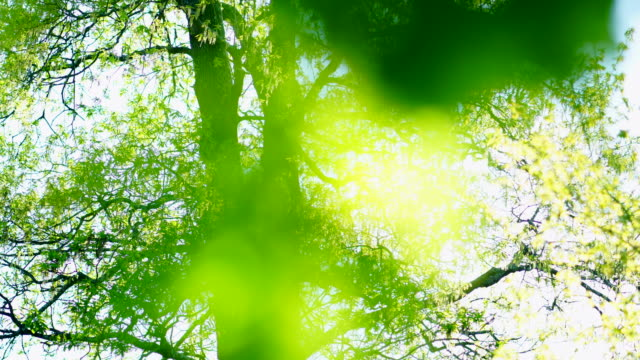 Quercus robur, commonly known as pedunculate oak or English oak, OAK - ROBLE ALBAR, Cantabrian Sea, Liendo, Cantabria, Spain, Europe