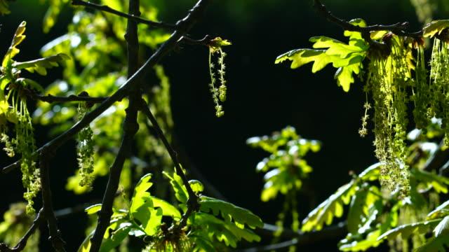 Quercus robur, commonly known as pedunculate oak or English oak, Cantabrian Sea, Liendo, Cantabria, Spain, Europe