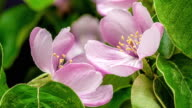 Quince flower blooming in a time lapse video against black background.
