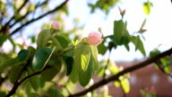 Quince tree blossom