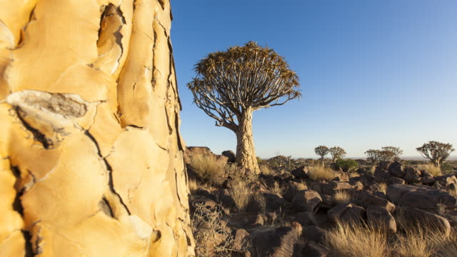 TIME LAPSE: Quiver Trees in Namibia