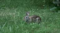 Rabbit 7-1: HD 1080/60i