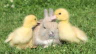 Rabbit and two ducklings on grass, chicks walking away