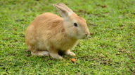 Rabbit eats carrot