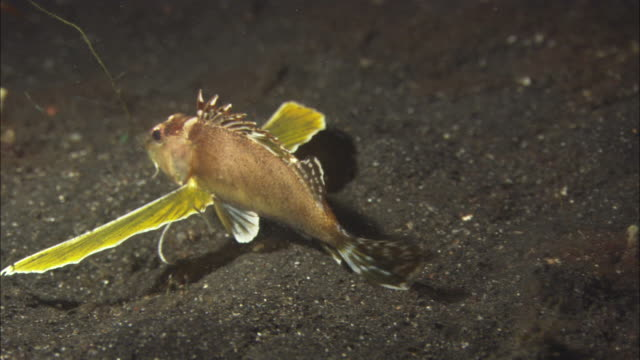 Rabbit fish, exits sand, spreads 'wings, ' swims away, travel. Indonesia