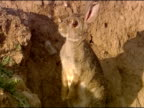 Rabbit (Oryctolagus cuniculus) outside burrow entrance, sitting up, alert, Andalucia, Spain