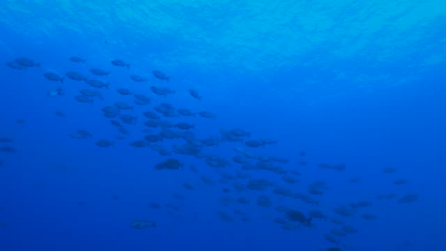 Rabbitfish (Spinefoot) schooling