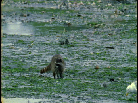 A raccoon and a seagull forage on a beach at low tide.