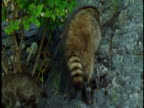 A raccoon and her kits climb over boulders.