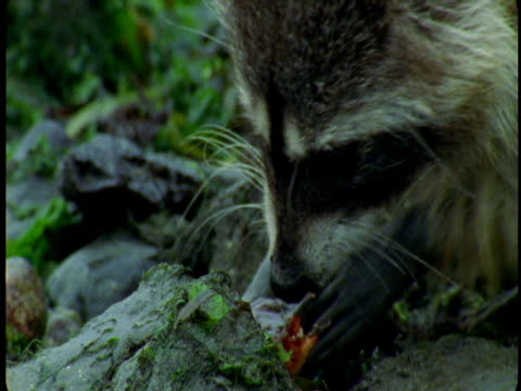 A raccoon bites down on the hard shell of a crab.