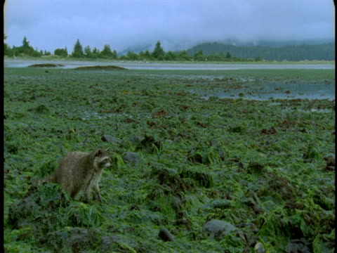 A raccoon crawls over a rocky, plant-covered shore.