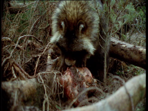 Raccoon dog chews at carcass in forest, Finland