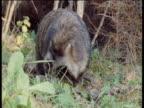 Raccoon Dog forages in woodland, looks around then walks away, Finland