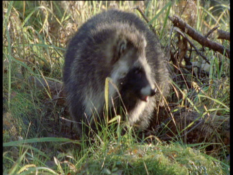 Raccoon Dog in forest, Finland