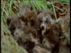Raccoon dog pups in huddle looking towards camera as mosquitos fly around them, Finland