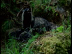 Raccoon dog pups suckling from mother, Finland