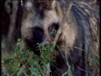 Raccoon Dog sniffs at berries in forest, Finland
