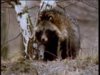 Raccoon dog sniffs at ground and carcass, Finland