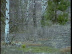 Raccoon dog trots through patchy forest, Finland