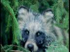 Raccoon Dog walks past camera through conifers, Finland