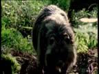 Raccoon dog walks to camera through forest, Finland