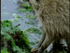 A raccoon eats a small crab it finds amongst seaweeds.