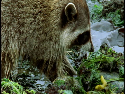 A raccoon finds food as it forages along a weedy shoreline.