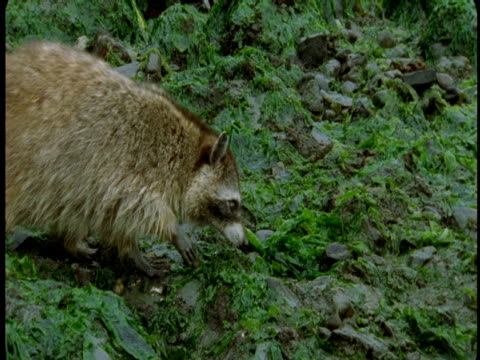 A raccoon forages among lush vegetation .
