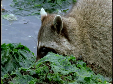 A raccoon forages and eats food it finds along a weedy shoreline.