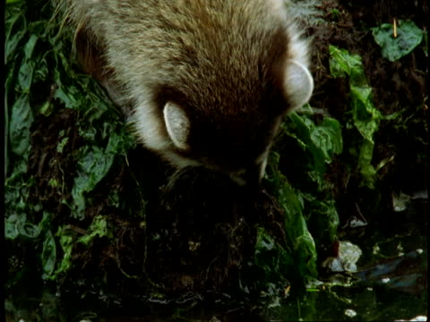 A raccoon forages for food amongst seaweed on a shoreline.