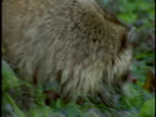 A raccoon forages for food through wet plants.