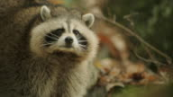 A raccoon in the forrest.