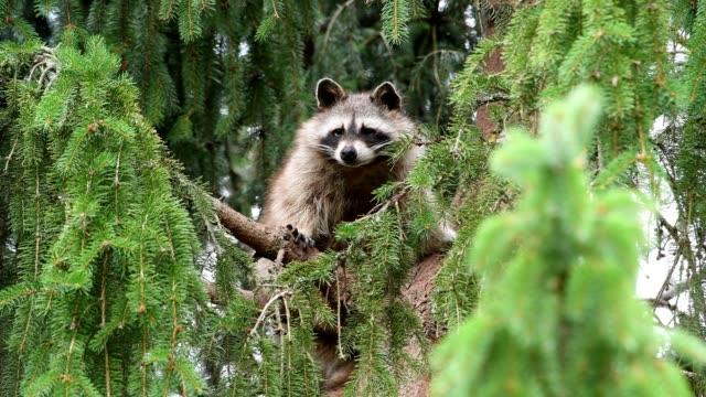 Raccoon in the tree, Germany