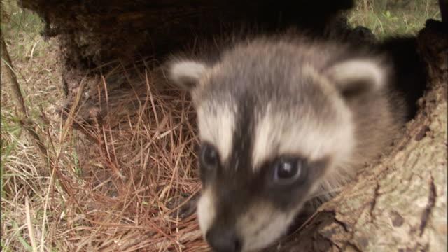 Raccoon kits play in a hollow log.
