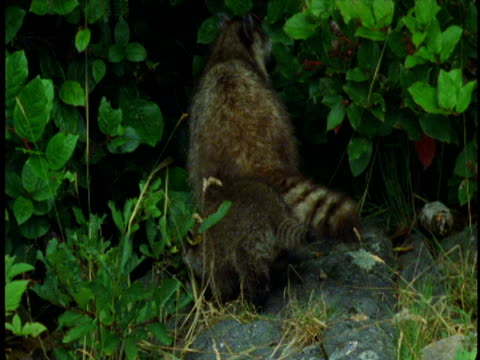 A raccoon mother looks in a clump of bushes to locate one of her kits.