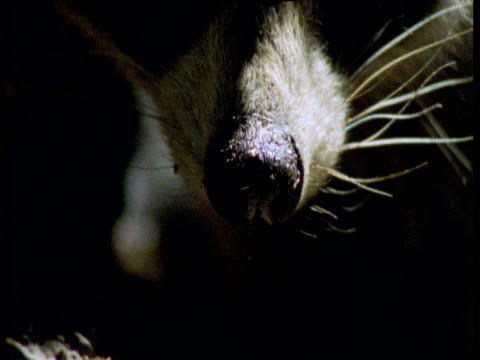 Raccoon nose twitches, Illinois