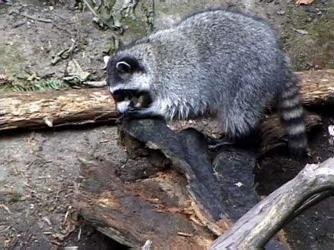 Raccoon on a log