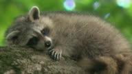MS Raccoon (Procyon lotor) resting on tree branch, Tweed, Ontario, Canada