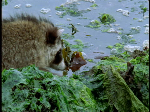 A raccoon retreats from a crab hidden in the kelp at low tide on Vancouver Island.