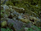 A raccoon scavenges for food between moss-covered rocks.