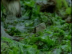 A raccoon scavenges in the vegetation at edge of water.