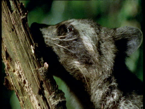 Raccoon sniffs and licks at branch in forest, Illinois