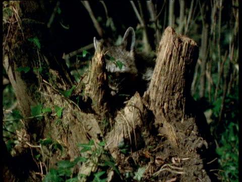 Raccoon sniffs and licks at tree stump, Illinois