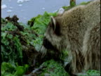A raccoon sniffs around seaweeds and rocks as it forages along a shoreline.