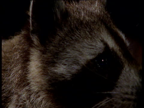 Raccoon sniffs the air then turns to look at camera, licks lips and winks, Illinois