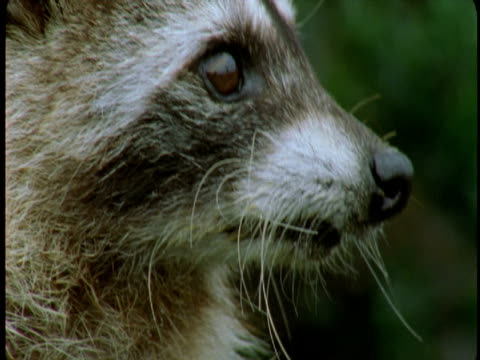 A raccoon stares intently at something in the forest.