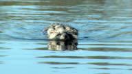 Raccoon swim